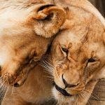 Arti Mimpi Singa