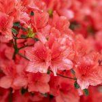 Arti Mimpi Bunga Azalea
