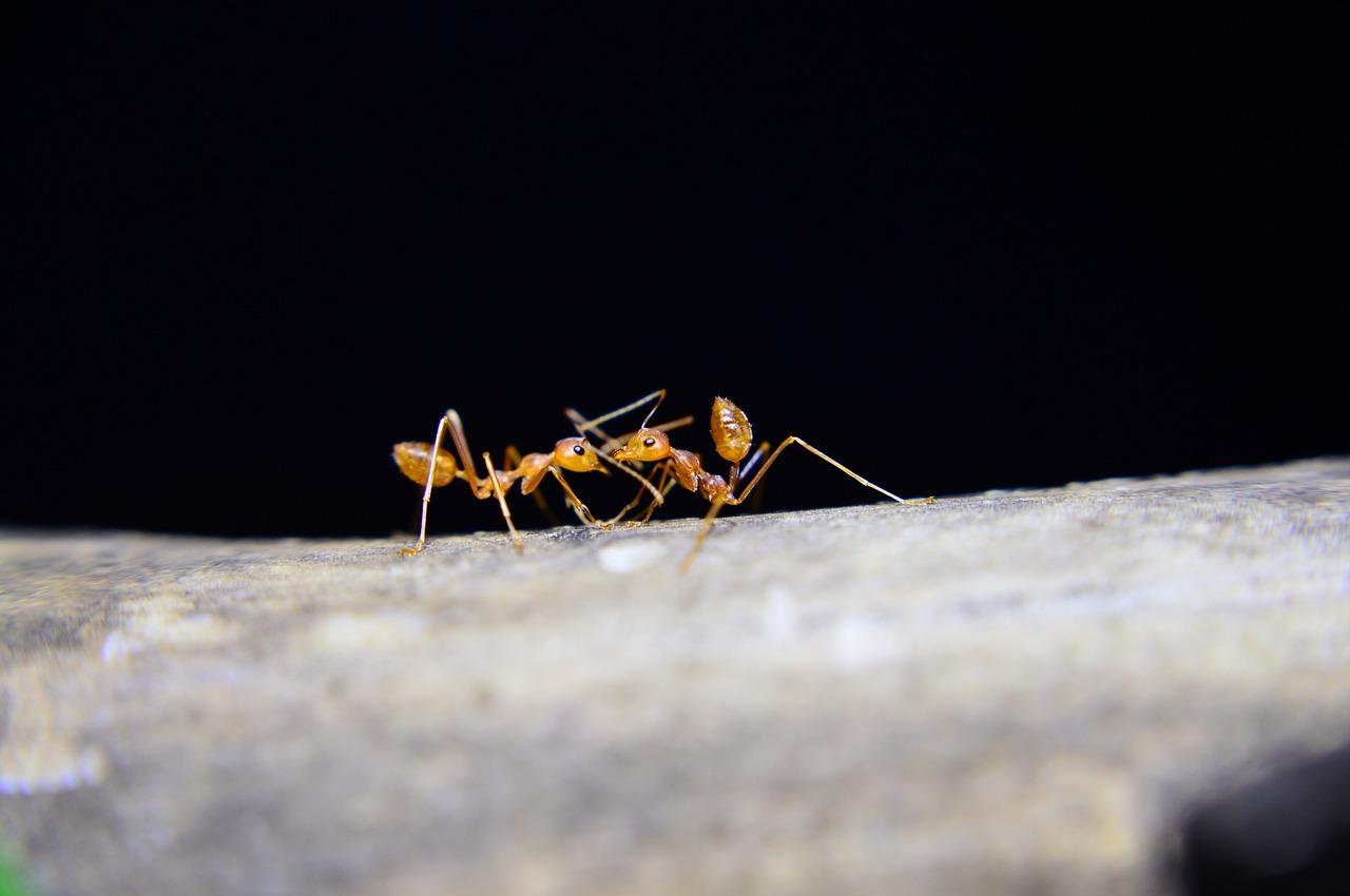 mimpi digigit semut merah