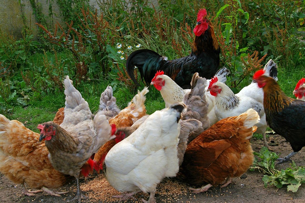 mimpi ayam putih