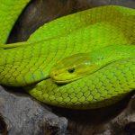 mimpi ular hijau