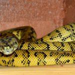 arti mimpi ular warna kuning