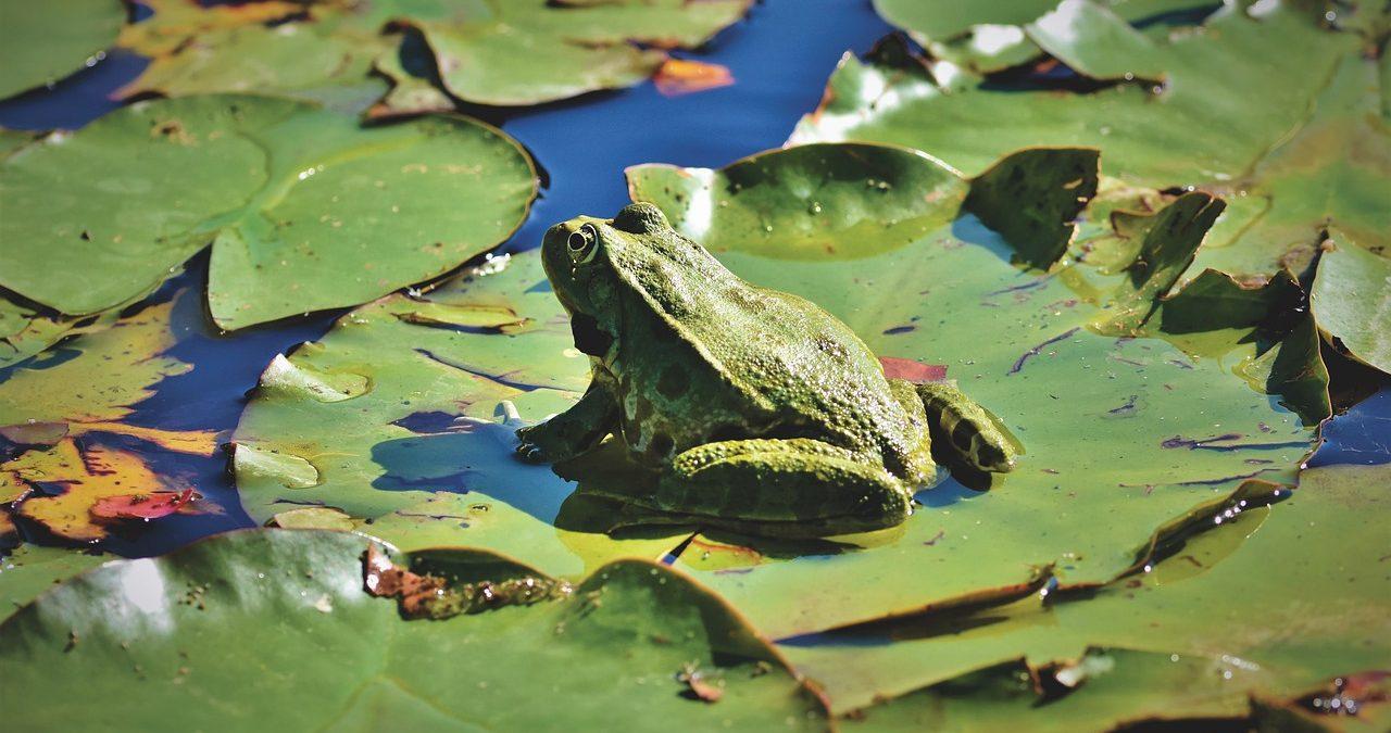 mimpi katak hijau