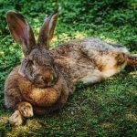 mimpi memeluk kelinci hilang