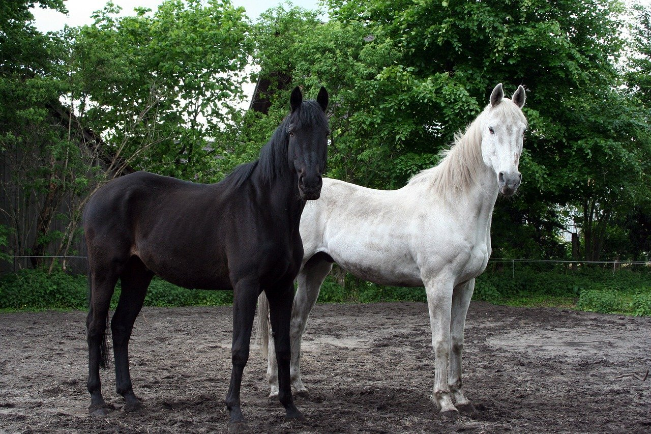 mimpi kuda hitam
