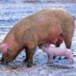tafsir mimpi babi