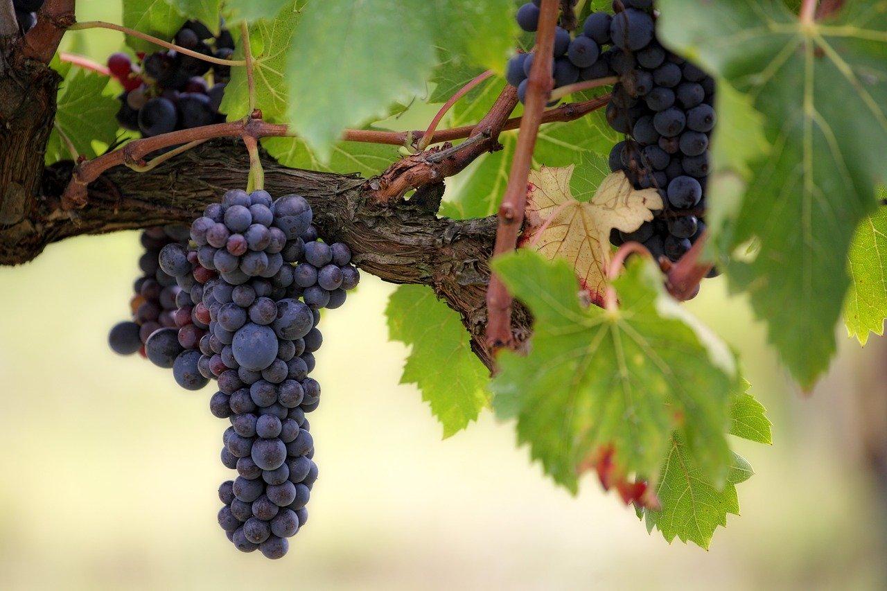 Arti Mimpi Buah Anggur