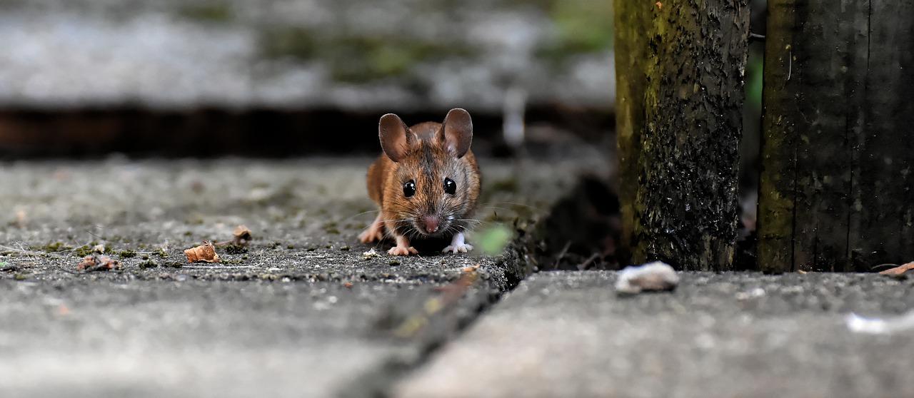 tafsir mimpi tikus