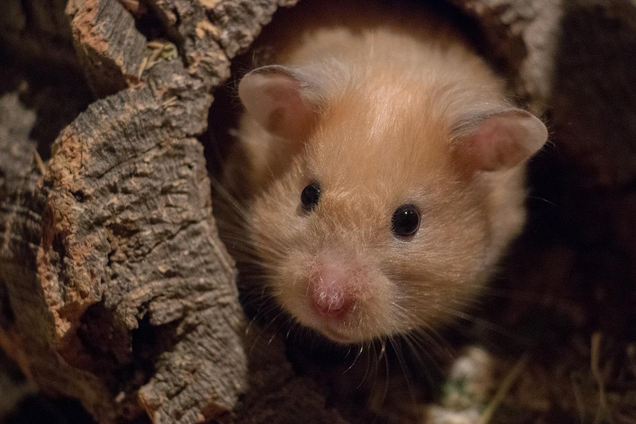 Arti Mimpi Hamster
